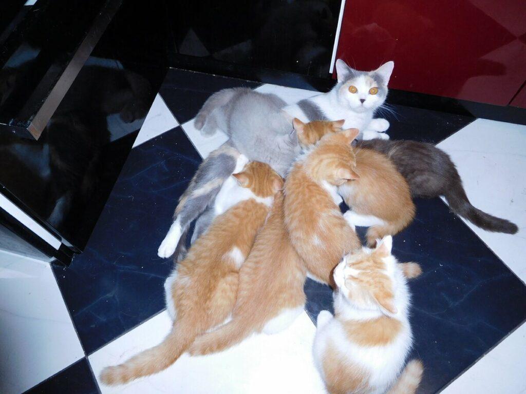 разведение котят